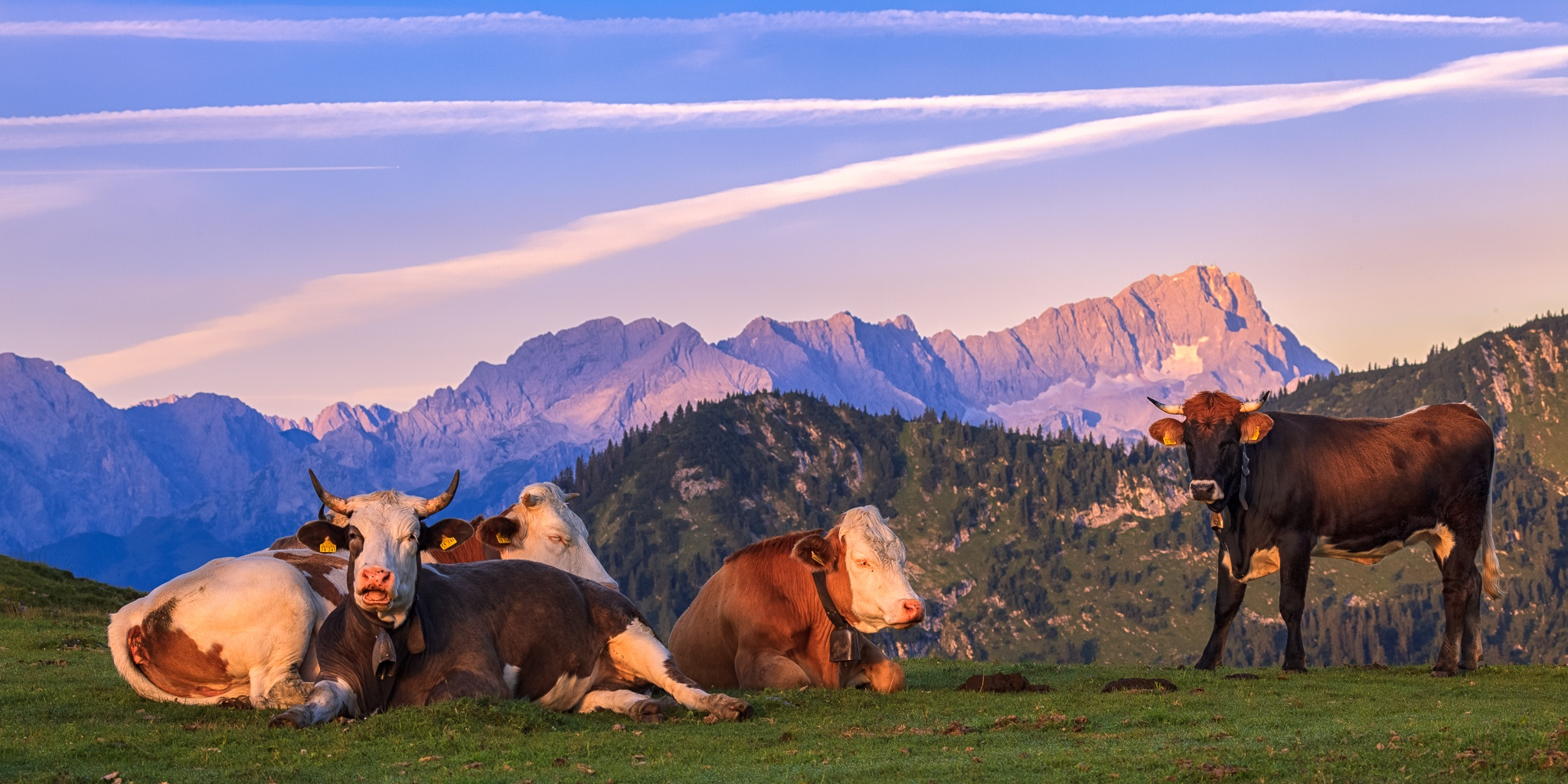 Kuh, kälber, Rinder, Jungvieh, Morgen, Simetsberg, Estergebirge