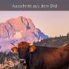 Kalb Kuh Stier mit Zugspitze