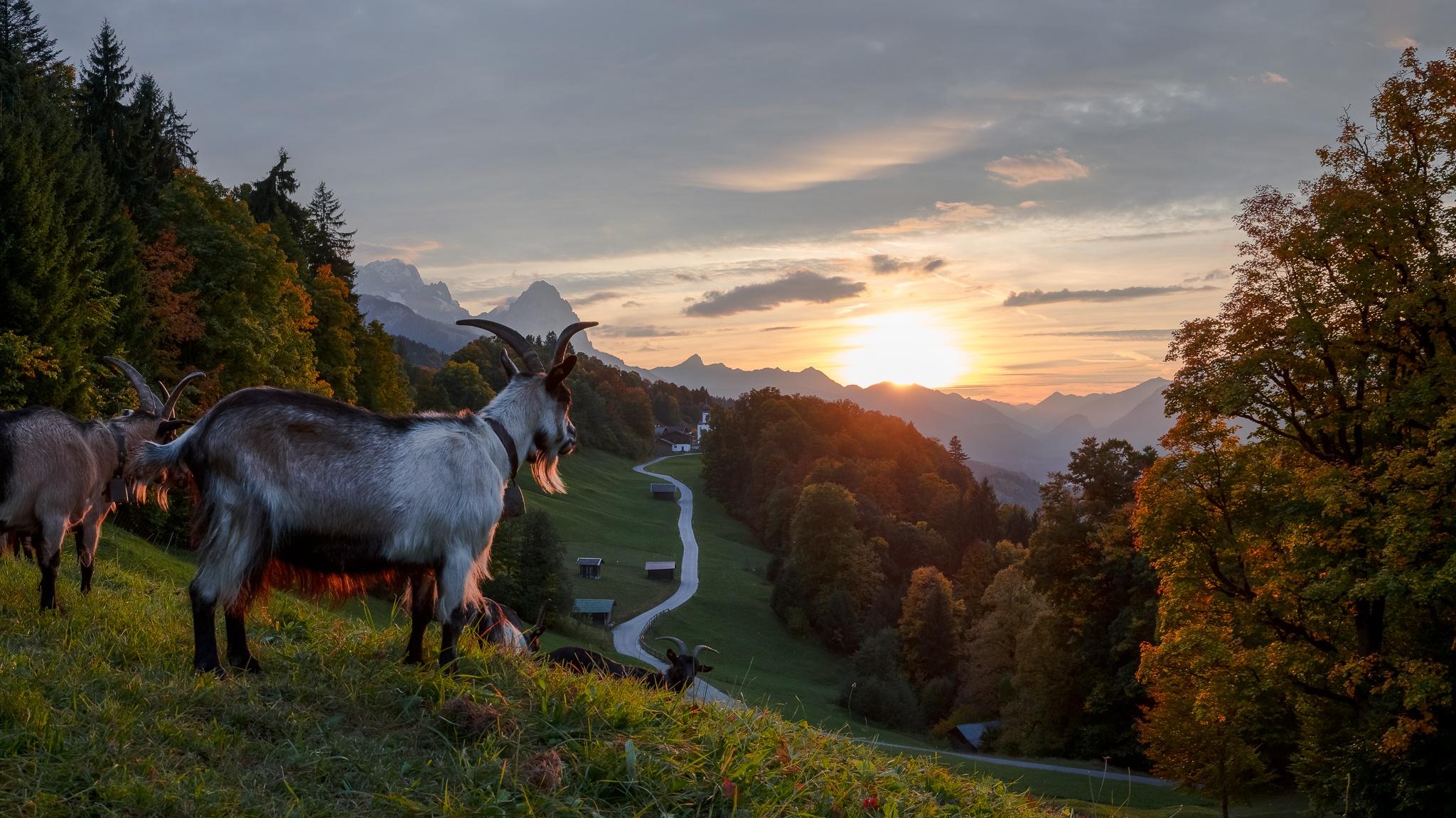 Der Herbst ist da, die Blätter sind optimal gefärbt, die Abendsonne kommt zwischen den Wolken hindurch und dann schauen die Ziegen auch noch beim Fotoshooting vorbei :-)