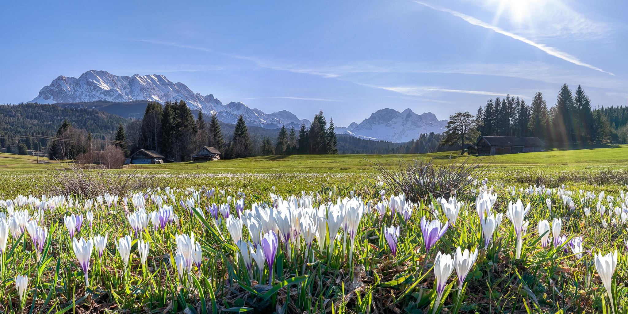Krokusse wachsen fast überall auf den Buckelwiesen zwischen Krün, Mittenwald und Klais.  Alpen - Blick von den Buckelwiesen.