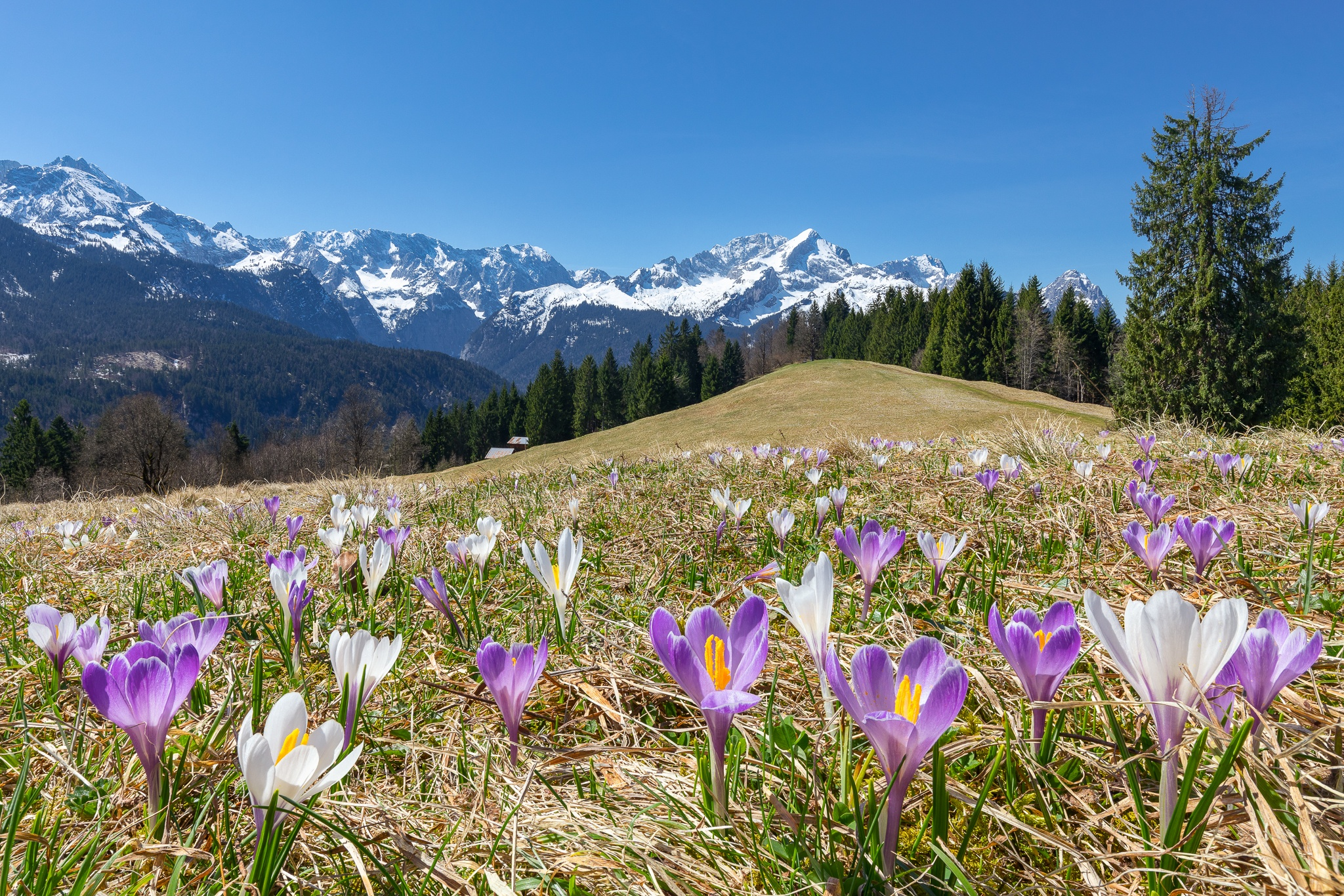 Krokuswiese am Eckbauer bei Garmisch-Partenkirchen