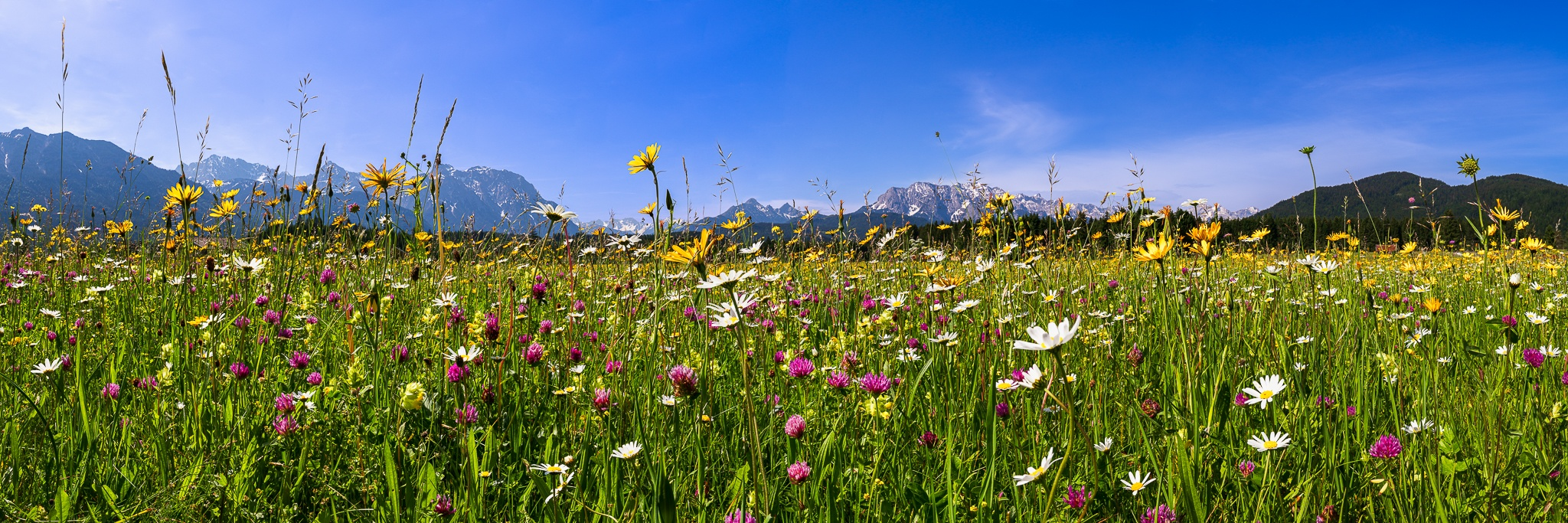 Blumenwiese in den bayerischen Bergen bei Krün. Hier blühen Margeriten, Wiesen-Bocksbart, Klee, Klappertopf, Witwenblumen.
